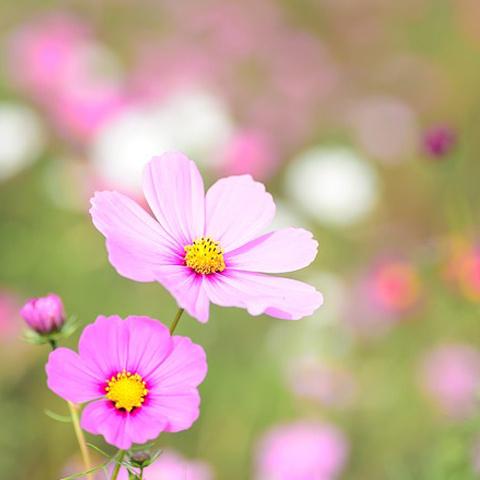 アイコン かわいい花コスモス写真 コスモス畑