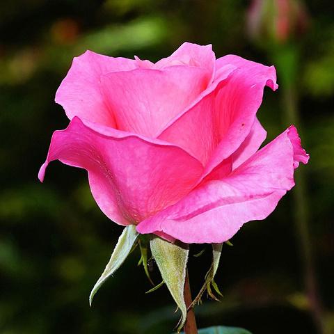 薔薇の画像 p1_40