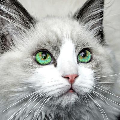 グリーンアイの猫